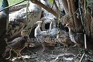 Pauw kuikens