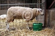 Blauwtong bij een schaap