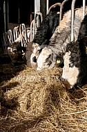 Vleeskoeien op stal