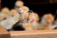 Kuifhoen kuikens in de broedmachine