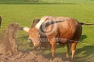 Watusi rund (stier)