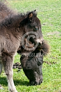 Veulen falabella miniatuurpaard