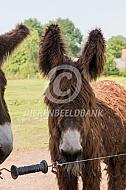De Poitou ezel