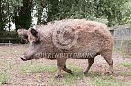 Mangalitza of  Hongaars wolvarken