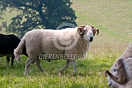 White Welsh mountain schapen