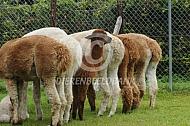 Alpaca's bij de voerbak