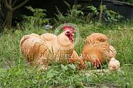 Cochin haan en hen met kuikens