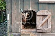 Dwerggeit in haar stal