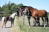 Paarden en Amerikaans miniatuurpaard