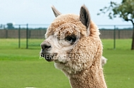 Close up alpaca hoofd