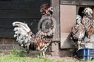 Nederlandse baardkuifhoen (tollbunt)