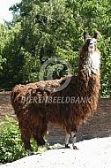 Lama op een bult zand (Lama glama)