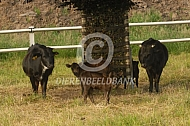 Dahomey runderen met kalf