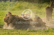 Poitou ezel neemt zandbad