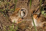 Welsumer kuikens nemen een zandbad