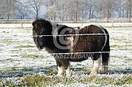 Shetland pony in de kou