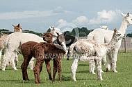 Suri alpaca cria's