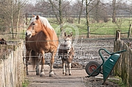 Haflinger met ezel in paddock