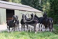 Poitevine geiten voor de stal