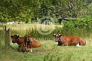 Liggende brandrode runderen