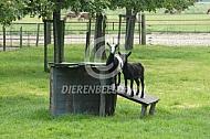 Bonte geiten bij hun stalletje