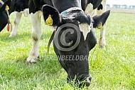 Grazende Fries Hollandse koe