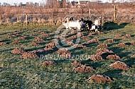 Molshopen in de wei met geiten