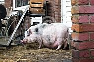 Huisvarkens in de achtertuin