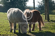 Twee shetlander pony's in de wei