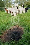 Alpaca's mesten op één plek