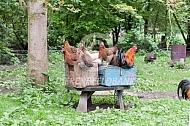 Rustende kippen