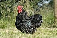 Orpington haan (zwartwit gepareld)