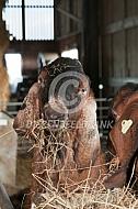 Nubische bok eet hooi