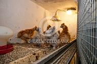 Jonge zijdehoenders kuikens onder de lamp