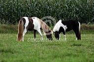 Amerikaanse miniatuurpaard in de wei