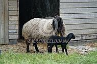 Karakul schaap met lam