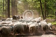Heidekoe tussen de schapen