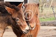 Muilezel en shetlander pony
