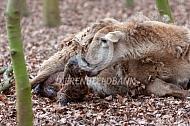 Geboorte van een bruin haarschaap