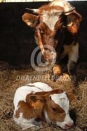 Kempens rund koe met kalf