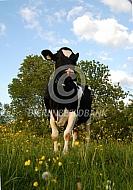 Koe in een bloemrijke weide