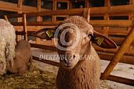 Coburger Fuchs