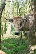 Marachine koe met horens