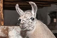 Lama op stal