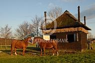 Paarden bij hun schuilstal