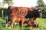 Brandrode koe met kalf