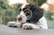 Nederlandse schapendoes pup