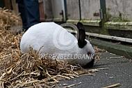 Het Rus konijn