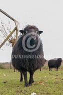 Ouessant schapen
