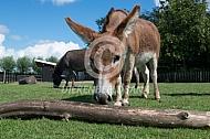 Mediteranne mini-ezels